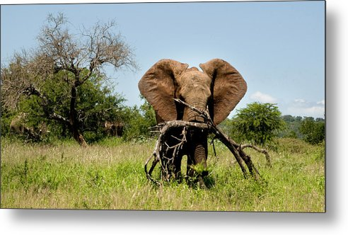 Elephant Metal Print featuring the photograph African Elephant Carying A Tree With Its Trunk by Dray Van Beeck