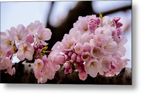 Capitol Metal Print featuring the photograph Cherry Blossoms Finally by Kathi Isserman