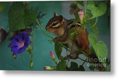 Chipmunk Metal Print featuring the photograph Chipmunk In The Morning Glory Vine by Marjorie Imbeau