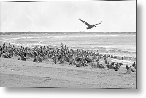 Pelican Metal Print featuring the photograph Pelican Convention by Betsy Knapp