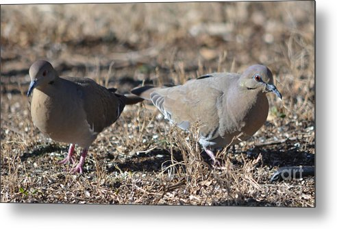 Male White Wing Dove Prints Metal Print featuring the photograph Male White Wing Doves by Ruth Housley