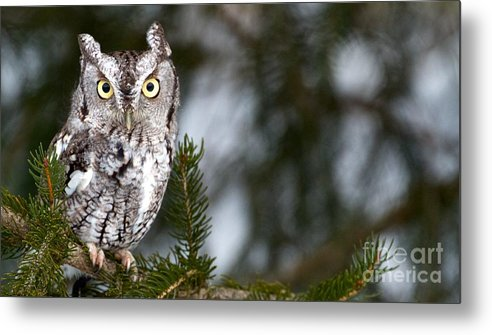 Beak Metal Print featuring the photograph Screech Owl by Precision Images