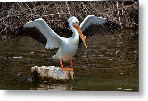 Bird Metal Print featuring the photograph American White Pelican by Wyatt Anderson