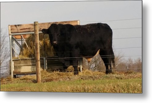 Animals Metal Print featuring the photograph Angus Bull by Donna Stiffler