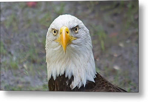 Wildlife Metal Print featuring the photograph Bald Eagle 2 by Kenneth Albin