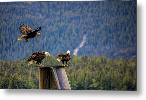 Metal Print featuring the photograph Bald Eagles by Timothy Latta