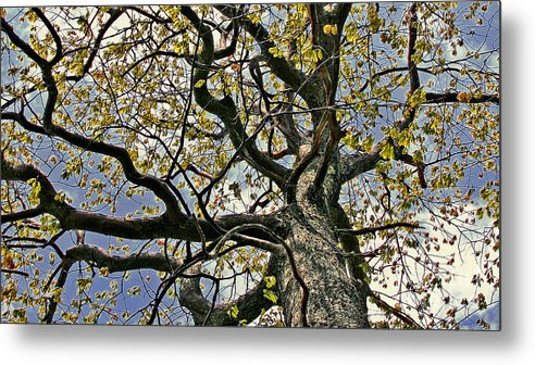Maine Metal Print featuring the photograph Cemetery Oak by Laura Mace Rand