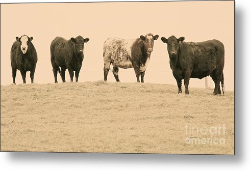 Cows Metal Print featuring the photograph Curious Cows by Suzanne Oesterling