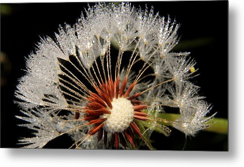 Dandelion Metal Print featuring the photograph Dandelion by Paul Adcock