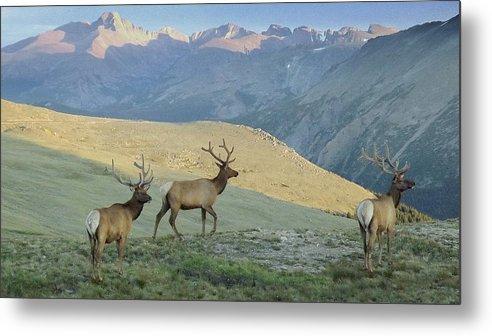 Elk Metal Print featuring the photograph Elk Surprise.. by Al Swasey