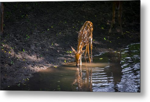 Deer Art Metal Print featuring the photograph Fawn by Garett Gabriel