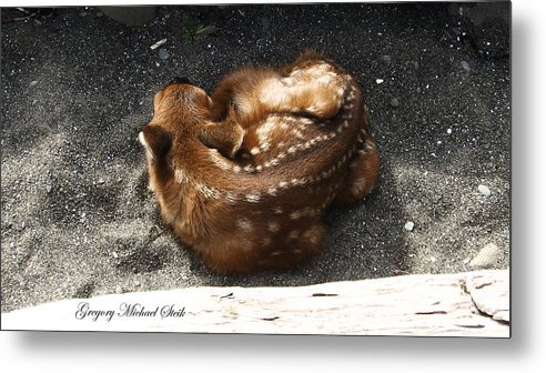 Deer In The Park Metal Print featuring the photograph Fawn Resting by Safe Haven Photography Northwest