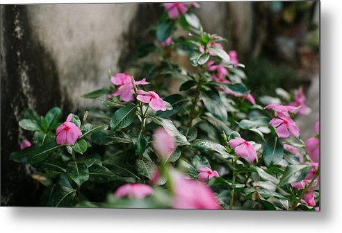 Catharanthus Metal Print featuring the photograph Home Flower by Duy Dang