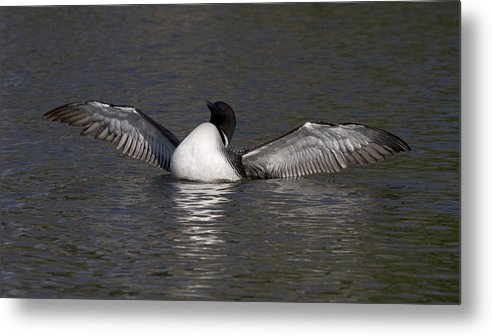 Metal Print featuring the photograph Loon 5 by Eric Mace