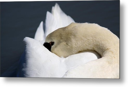 Swan Metal Print featuring the photograph Snoozer - Swan by Travis Truelove