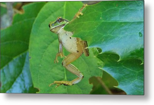 . Metal Print featuring the photograph Tree Frog And Mahonia. by Will LaVigne