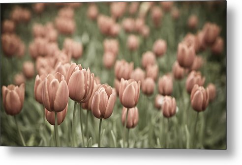 Tulip Field Metal Print featuring the photograph Tulip Field by Frank Tschakert