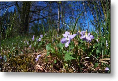 Isosuo Metal Print featuring the photograph Common Dog-violet by Jouko Lehto
