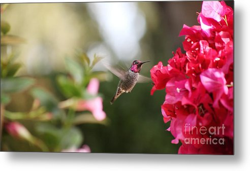 Hummingbird Metal Print featuring the photograph Hummingbird In Bougainvillea by Ruby Hummersmith