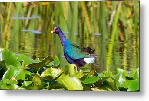 Purple Gallinule Metal Print featuring the photograph Purple Gallinule by Wild Expressions Photography