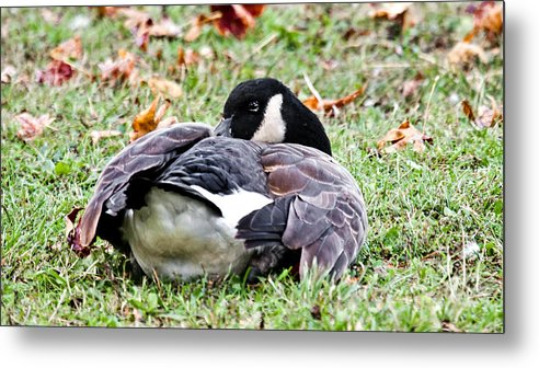Goose Metal Print featuring the photograph Resting by Susi Stroud