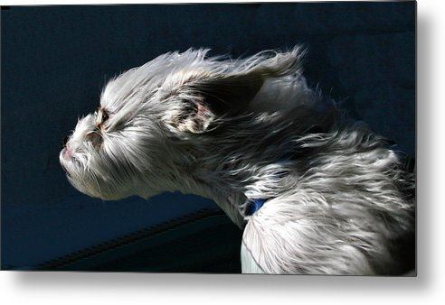 Dog Metal Print featuring the photograph Sniffing Down The Highway by Rick Ulmer
