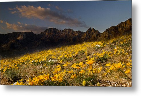 Flowers Metal Print featuring the photograph Springpoppies by Mel Stone