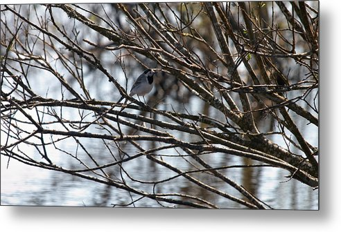 Isosuo Metal Print featuring the photograph White Wagtail by Jouko Lehto