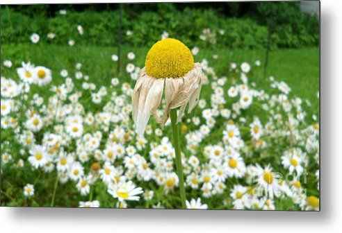 Daisy Metal Print featuring the digital art Wilted Daisy In The Garden by Michelle Hawk