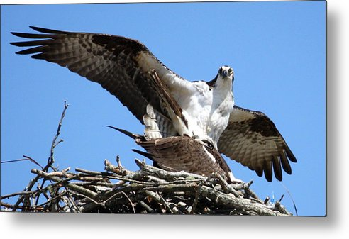 Osprey Metal Print featuring the photograph The Birds And The Bees by Annie Babineau