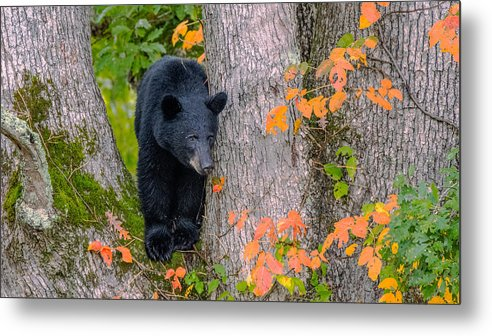 Metal Print featuring the photograph Black Bear In Tree by Randy Gebhardt