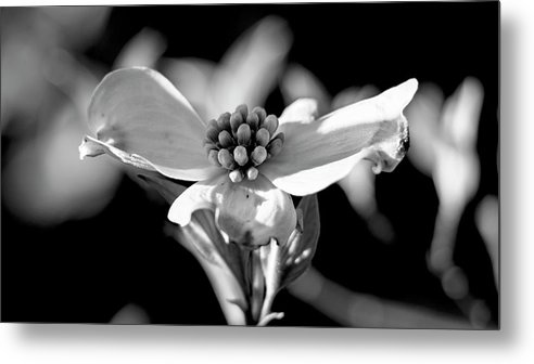 Dogwood Metal Print featuring the photograph Dogwood In Black And White by Holly Ross