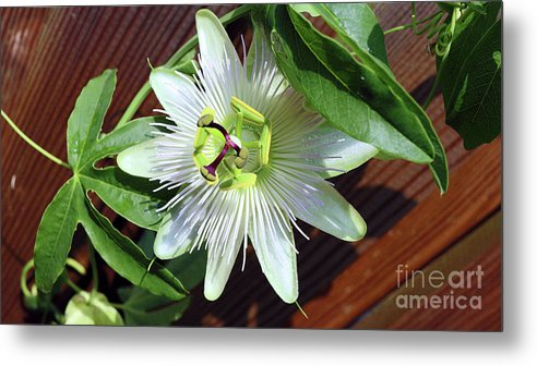 Passion Flower Metal Print featuring the photograph Fresh White Passion Flower by Davids Digits