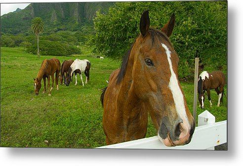 Horse Metal Print featuring the photograph Horses At Kualoa Ranch by Peter OBrien