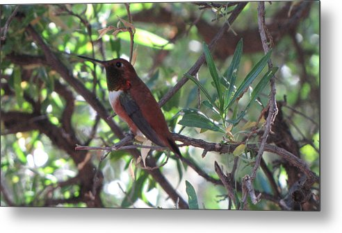 Metal Print featuring the photograph Hummingbird 2 by Mary Ivy