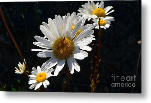 Flowers Metal Print featuring the photograph Mountain Daisy by Larry Keahey