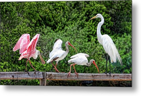 Roseate Spoonbill Metal Print featuring the photograph Olympic Team Tryouts by HH Photography of Florida