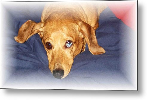 Dachshund Metal Print featuring the photograph One Blue Eye by Nelson Strong