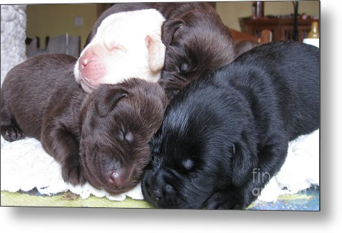 Labrador Metal Print featuring the photograph Puppies Mountain by Animal Fotos