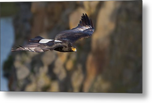Soaring Eagle Metal Print featuring the photograph Soaring Black Eagle by Basie Van Zyl