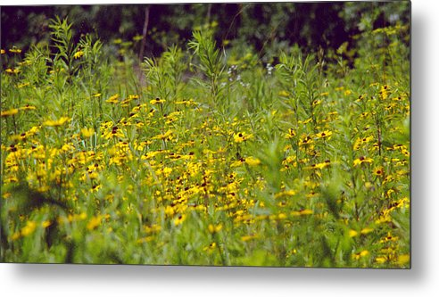 Nature Metal Print featuring the photograph Susans In A Green Field by Randy Oberg