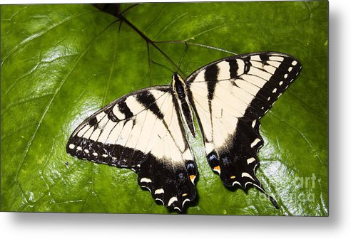 Eastern Tiger Swallowtail Butterfly Metal Print featuring the photograph Tiger Swallowtail by Thomas R Fletcher
