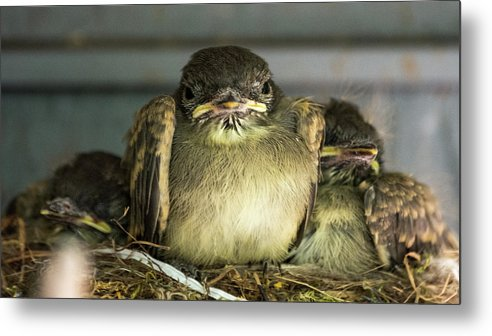 Baby Bird Metal Print featuring the photograph Time To Get My Own Place by Tommy Nigbor