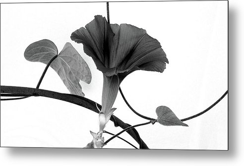 Vine Metal Print featuring the photograph Vine Offering B And W by Robin Webster