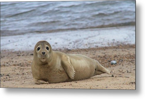 Seal Metal Print featuring the photograph Young Seal Pup On Beach - Horsey, Norfolk, Uk by Gordon Auld