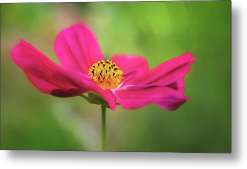 Flower Metal Print featuring the photograph Cosmo by S A Littau