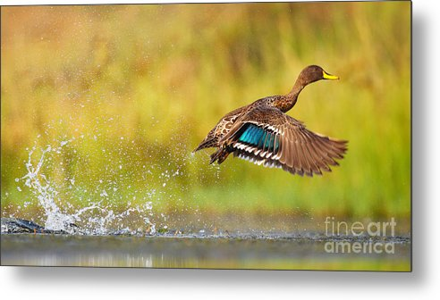 Feather Metal Print featuring the photograph Yellow-billed Duck Taking Off From by Jmx Images