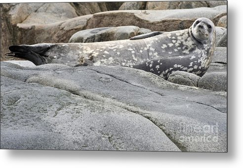 Fauna Metal Print featuring the photograph Weddell Seal by John Shaw