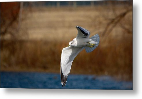 Roy Williams Metal Print featuring the photograph Airborne Seagull Series 1 by Roy Williams