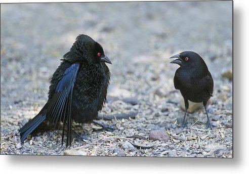 Bronzed Cowbird Metal Print featuring the photograph Bronzed Cowbird Display by Anthony Mercieca